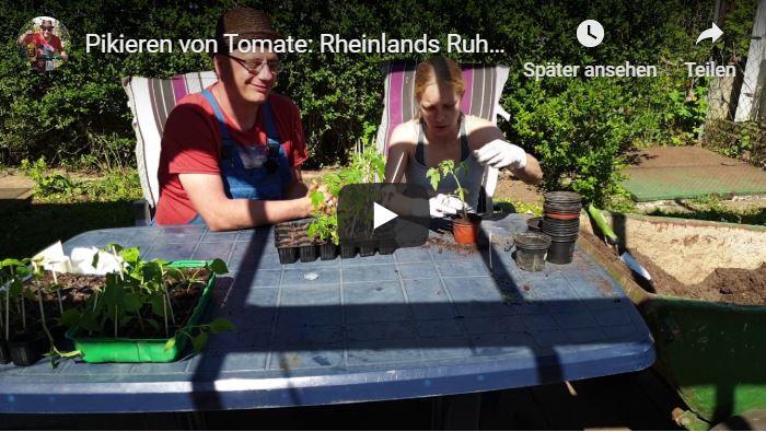 Pikieren von Tomate: Rheinlands Ruhm, Paprika: Spitz, Chili: Early Jalapeno