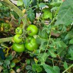 Gemüse mitten in Köln Mülheim Tomate