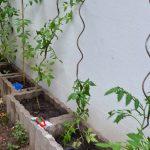 Im Hinterhof in Köln Mülheim Tomatenpflanze San Marzano